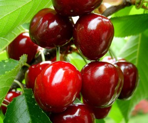 Ягоды черешни на дереве